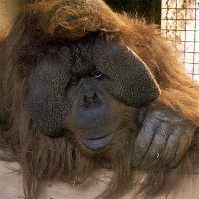 The gorilla genome assembly was compared with other great apes, including the orangutan.