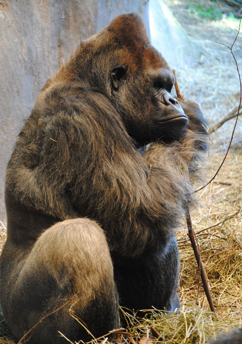 A lowland gorilla at Seattle's Woodland Park Zoo.