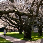 Video Friday: April edition of UW|360, just out, includes cherry-tree feature