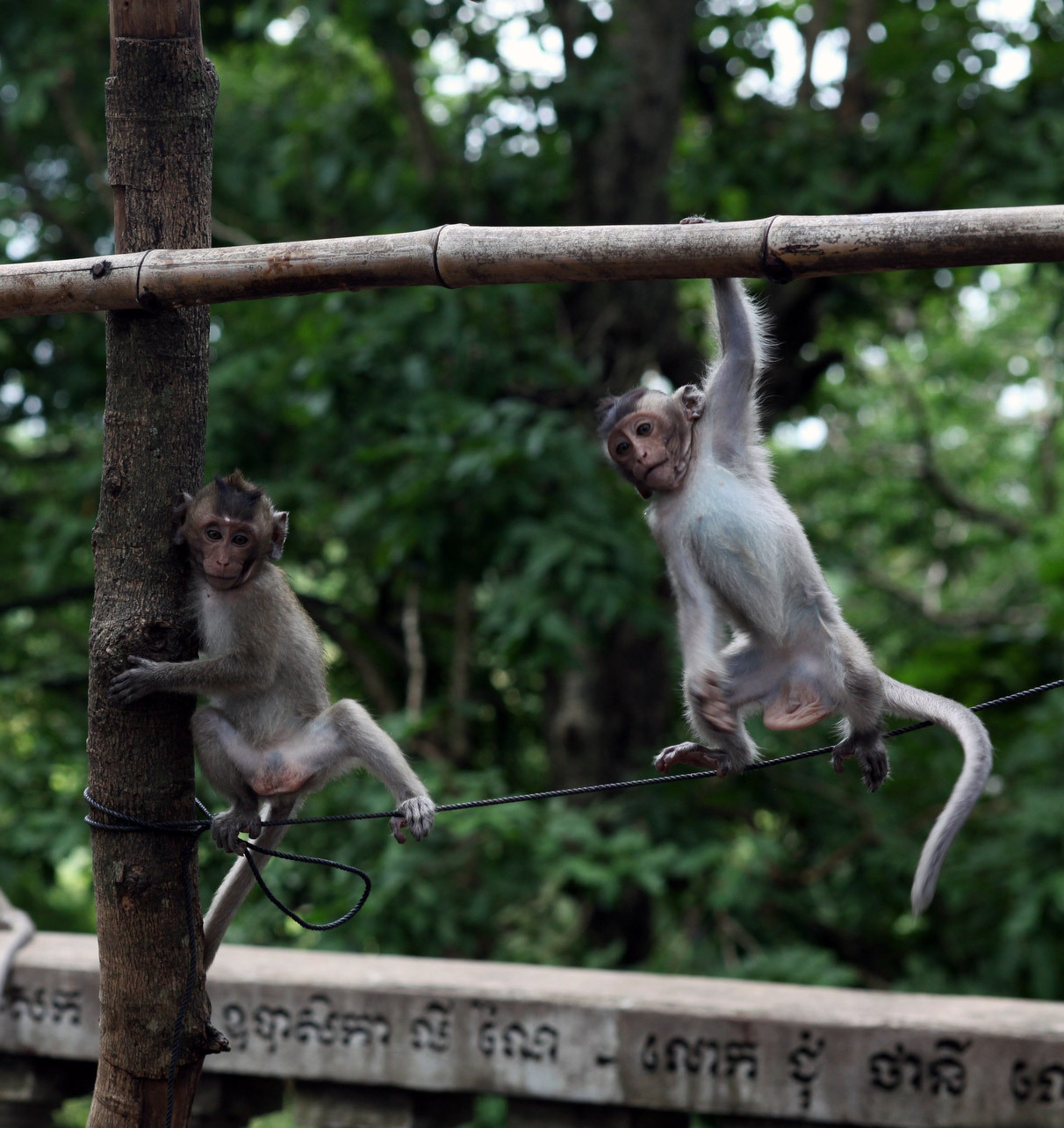 Two mischievous young male temple monkeys.