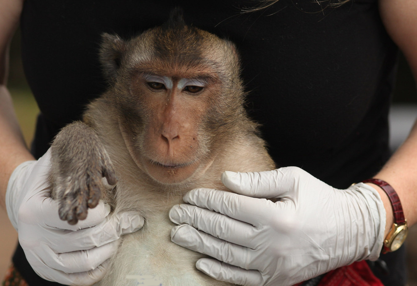 A macaque in Asia is held after her TB test.