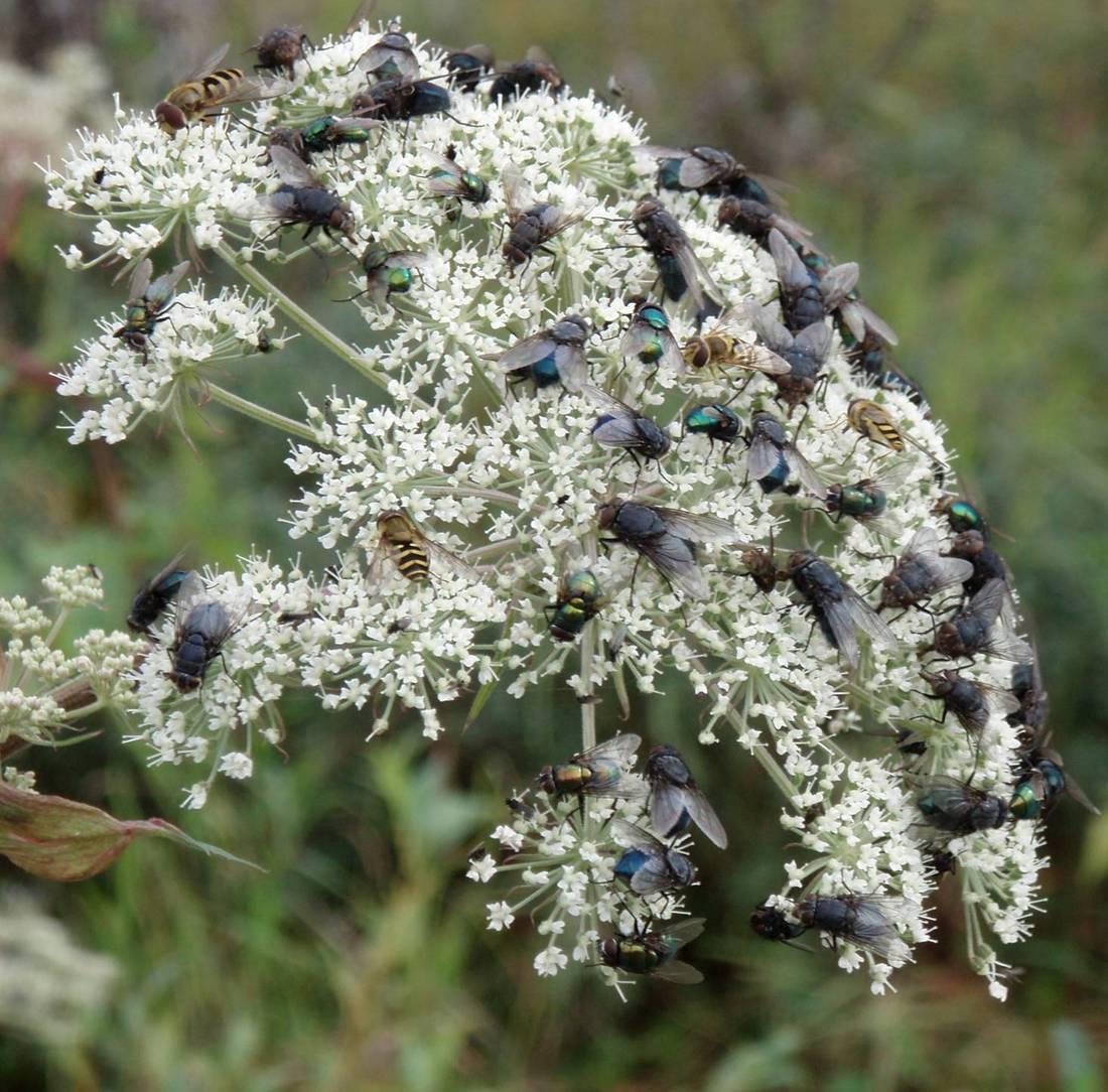Blowflies and other pollinators onkneeling angelica blossom