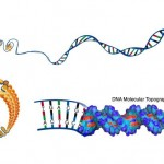 This illustration depicts DNA packed tightly into chromosomes, as well as a DNA molecule unwound to reveal its 3-D structure.