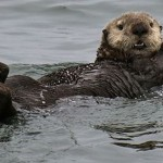 Sea-otter TILE