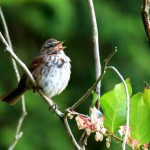 Song sparrow singing in his territory.