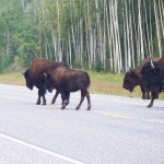 Bison walk down paved road through wooded area