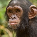 Belinga, a great ape
