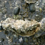 Two barncle-covered oysters in seawater