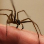 A male giant house spider perched on a hand.