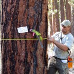 Student mesures circumfrence of tree trunk