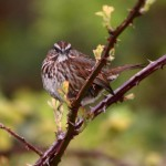 Song sparrow on a tree branch..