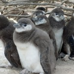 Six penguin chicks stand under shrub