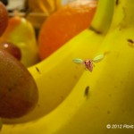 Flies on banans and grapes
