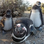 A Magellanic penguin and two chicks