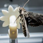 A hawkmoth clings to a robotic flower used to study the insect's ability to track the moving flower under low-light conditions.