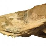Photograph of the skull of Ichibengops munyamadziensis.