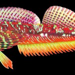 An illustration of the longfin sculpin (Jordania zonope).