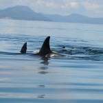 Digital acoustic recording tags temporarily attached to killer whales measured vessel noise reaching the whales.