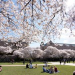 Cherry blossoms on the UW Quad. Photo by Katherine B. Turner/ UW
