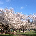 Cherry trees in the Quad, March 10, 2016.