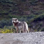 A wolf on the road in Denali.