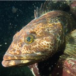 A lingcod fish
