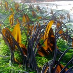 Sea grass beds, like these off the coast of British Columbia, Canada, might buffer the impacts of ocean acidification