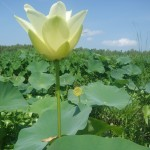 lotus flowers in the mississippi delta.