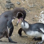 A juvenile Galapagos penguin being fed by an adult.