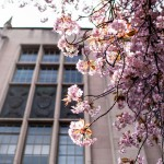 Cherry blossoms near Suzzallo Library and Gerberding Hall on the UW campus in 2017.