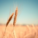 Image of ears of wheat