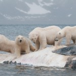 four male bears eating a whale