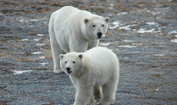 First tally of U.S.-Russia polar bears finds a healthy population