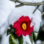 flower with snow