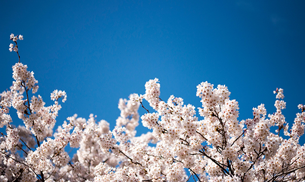 Avoid coming to UW campus to see cherry blossoms amid COVID-19 outbreak
