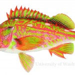 rockfish illustration