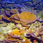 corals in the mesophotic zone