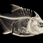 ct scan of a piranha fish