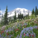 A meadow filled with wildflowers in full bloom on the slopes of Mount Rainier.