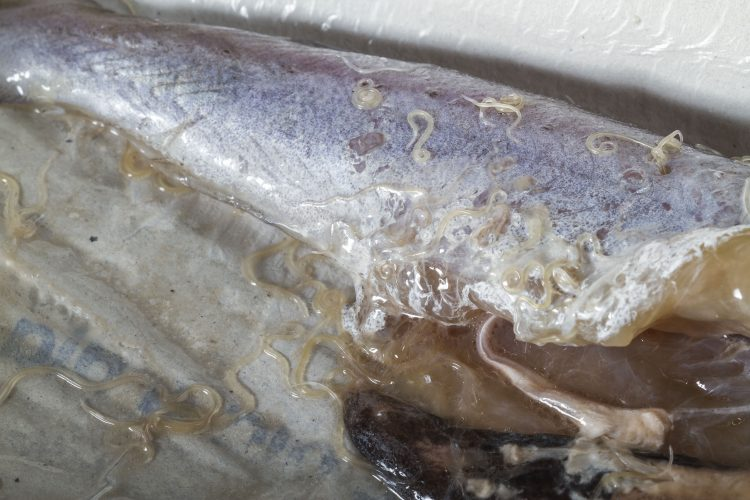 anisakis worms in pacific whiting