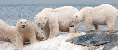 漂浮在斯瓦尔巴群岛上的鲸鱼尸体后不久,四只雄性北极熊站在漂浮的鲸鱼尸体上.Daniel J.Cox /北极纪录片项目