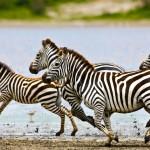 Pack of Zebra running