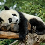 Panda resting on a tree branch