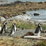 The most common type of penguin found in Argentina is the Magellanic, whose namesake, Ferdinand Magellan, first spotted them on a voyage in 1520
