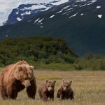 Alaska Brown Bears in a Field