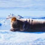 Bearded Seal, Ny-Alesund