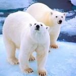 Polar bears, Liefdefjorden