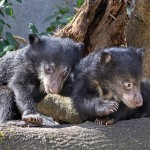 Deemak and Kartick are learning to play together. The twin sloth bear cubs are very busy when they aren't napping with mom.