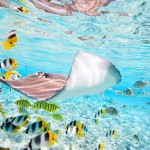 Stingray in the aqua water