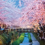 Busan, Japan, with cherry trees in bloom